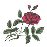 Sketch vector illustration of red roses Stock Photography