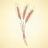 Sketch wheat bran in vintage style. Vector Royalty Free Stock Image