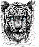 Sketch of white tiger Stock Image