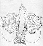 Sketched bird of paradise. Hand drawn pencil sketch of a bird of paradise well known for it's gorgeous plumage Stock Photos