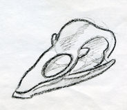 Sketched bird scull. Hand drawn pencil sketch of a small bird scull Royalty Free Stock Photography