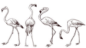 Sketched flamingos. Sketched flamingo birds pencil drawing over white Stock Photo