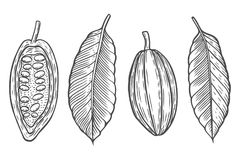 Set Cocoa beans vector illustration. Stock Photos