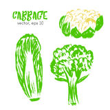 Sketched vegetable illustration of cabbage. Royalty Free Stock Photo