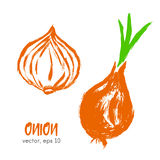 Sketched vegetable illustration of onion. Royalty Free Stock Photo