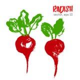 Sketched vegetable illustration of radish. Stock Image