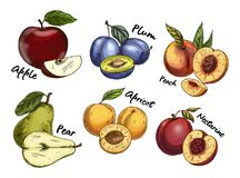 Sketches of apple and pear, plum, apricot fruits. Set of isolated sketches of fruits like apple and plum, pear and apricot, nectarine. Vitamin natural food royalty free illustration