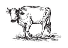 Sketches of cows drawn by hand Stock Image