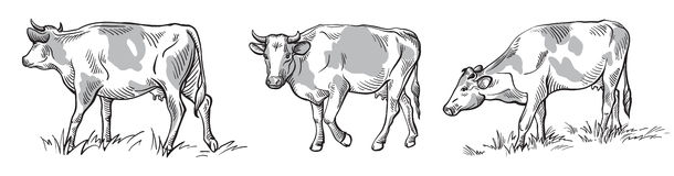 Sketches of cows drawn by hand. Livestock. cattle. animal grazing Royalty Free Stock Photos