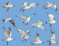 Sketches of the flying seagulls. Vector image of the seagulls in the flight Stock Photos
