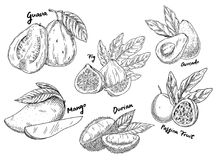 Sketch of guava and avocado, fig and mango, durian. Sketches of fruits for vegetarian food or nutrition. Set of isolated guava and avocado or alligator pear Stock Photo