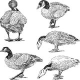 Sketches of geese Royalty Free Stock Image