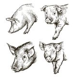 Sketches of pigs drawn by hand. livestock Royalty Free Stock Image