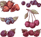 Sketches of the ripe berries. Vector image of the different berries Royalty Free Stock Image