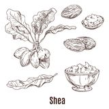 Sketches of shea nuts and butter in bowl or cup. Isolated sketches of shea nuts and leaves, bowl or cup with shea butter or karite, lotion or moisturizer for stock illustration