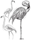 Sketchy flamingos Stock Photography