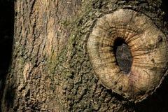 Skev regel för trädfnurenskäll av den högra naturen för tredjedelar Royaltyfri Bild