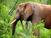 Skew-bete elefant Royaltyfri Bild