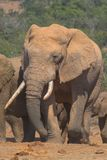 Skew Tooth. African elephant with skew tusks Royalty Free Stock Photography