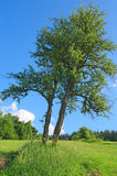 Skew tree Royalty Free Stock Photo