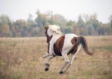 Skewbald лошадь скакать на луге стоковое фото