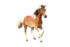Skewbald лошадь скакать свободно изолированный на белизне Стоковое Изображение