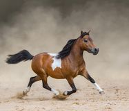 Skewbald American Miniature Horse running in dust. Skewbald American Miniature Horse running in paddock in dust Royalty Free Stock Photo