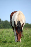 Skewbald horse at the pasture in summer Royalty Free Stock Photography