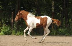 Skewbald foal on gallop Stock Image