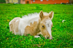 Skewbald foal Royalty Free Stock Photos