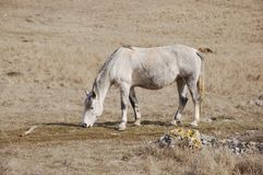 The skewbald horse Stock Photography