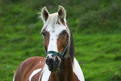 Skewbald Horse. Photo of a Skew bald horse turned out into a grazing field. The horse is standing facing forward with an alert expression Stock Image