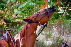 Skewbald horse eating leaves Stock Images