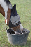 Skewbald Horse in a Fly Mask, Drinking Water Royalty Free Stock Photo