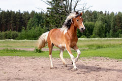Skewbald horse galloping free at the pasture Stock Photo