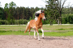 Skewbald horse galloping free at the pasture Royalty Free Stock Photography