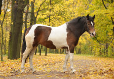 Skewbald horse in park Royalty Free Stock Photography