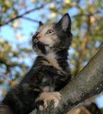 skewbald kattunge Royaltyfri Bild