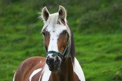 Skewbald Pferd Stockbild