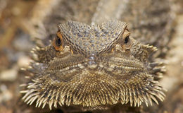 skäggig central drake Royaltyfri Foto