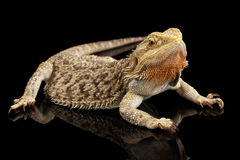 Skäggiga Dragon Llizard Lying på spegeln, isolerad svart bakgrund Fotografering för Bildbyråer