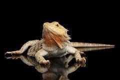 Skäggiga Dragon Llizard Lying på spegeln, isolerad svart bakgrund Royaltyfri Bild