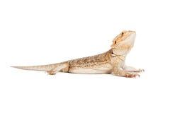 Skäggiga Dragon Profile Fotografering för Bildbyråer