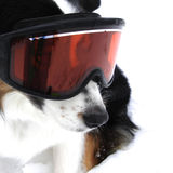 Ski Dog Stock Image