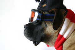 Ski Dog. An English Mastiff in ski goggles and a red and white scarf Royalty Free Stock Photo
