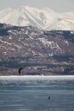 Ski-Kiting on frozen Lake. Laberge, Yukon T., Canada Royalty Free Stock Photo