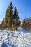 The ski track goes into the woods. Russian winter Royalty Free Stock Image