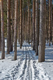 Ski track in a pine forest Royalty Free Stock Photo