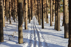 Ski track in pine forest Royalty Free Stock Images
