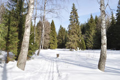 Ski track between two birches in winter forest Royalty Free Stock Photo